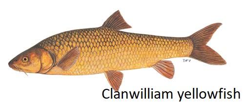 Labeobarbus-capensis