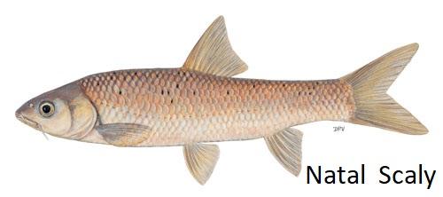 Labeobarbus-natalensis